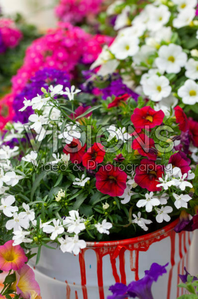Lobelia en Petunia MultiColours