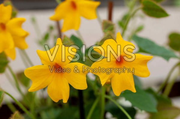 Thunbergia Thunshine Yellow