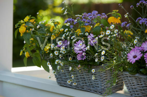 Mixed summer container