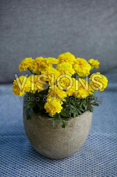 Tagetes yellow