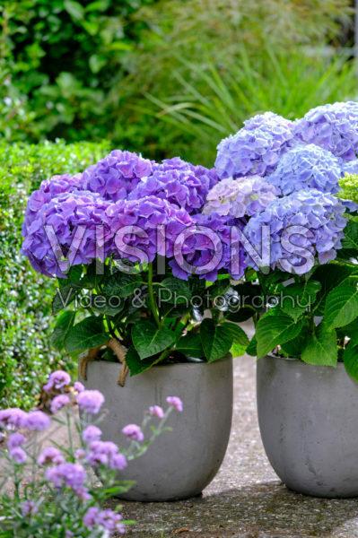 Hydrangea Multi-Double by Magical® Pump Up The Blue, Purple Blue Fiction