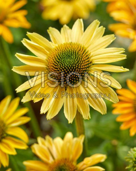 Echinacea Mellow Yellow