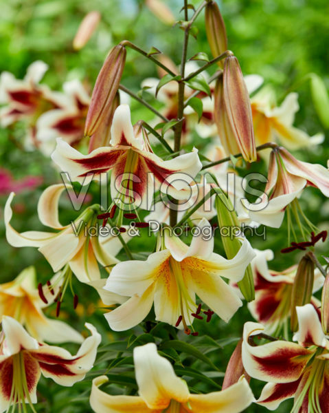 Lilium Beverly Dreams, Mister Cas