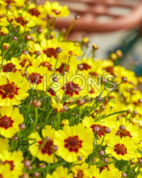 Coreopsis rosea Twinkles Bells® Sunrise