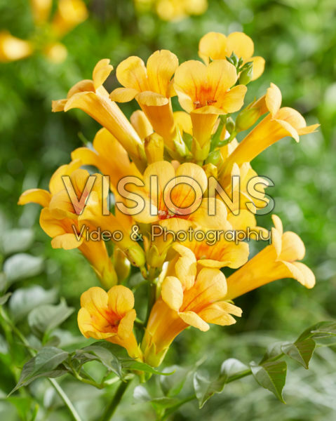 Campsis radicans Golden Trumpet
