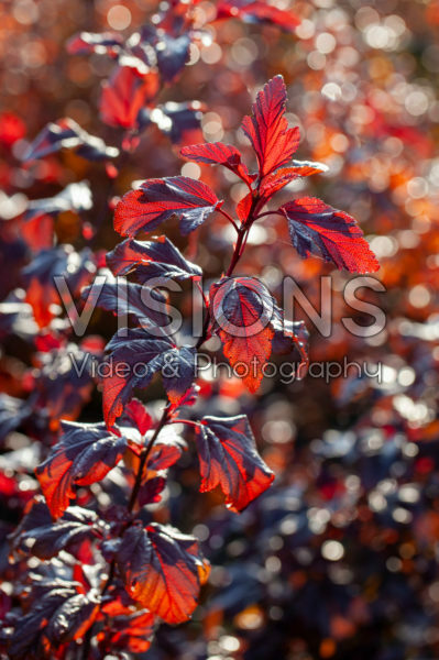 Physocarpus opulifolius Little Angel®