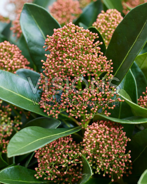 Skimmia japonica Miracle ®