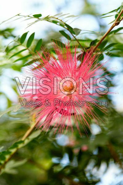 Calliandra houstoniana