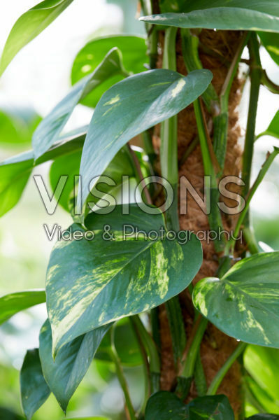 Philodendron scandens Brazil