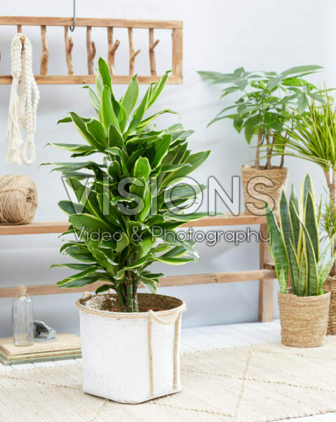 Dracaena Golden Coast