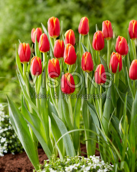 Tulipa Choice