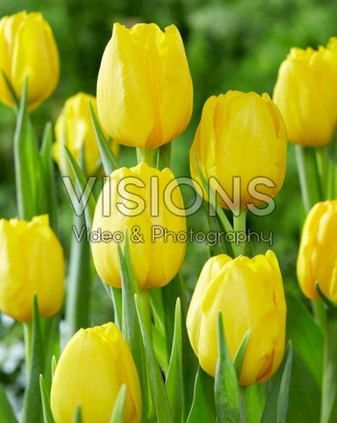 Tulipa Fort Knox