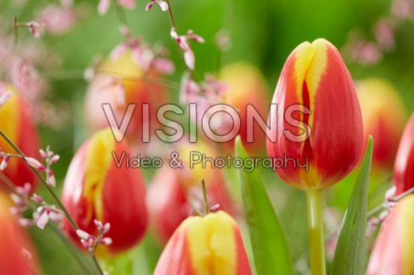 Tulipa Denemarken