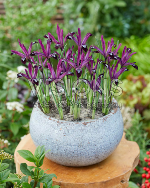 Iris reticulata Pauline