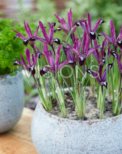 Iris reticulata Pauline Iris reticulata Pauline