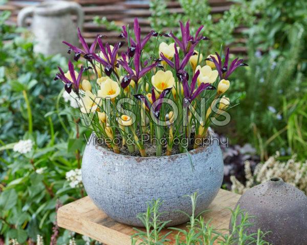 Crocus chrysanthus Cream Beauty, Iris reticulata Pauline