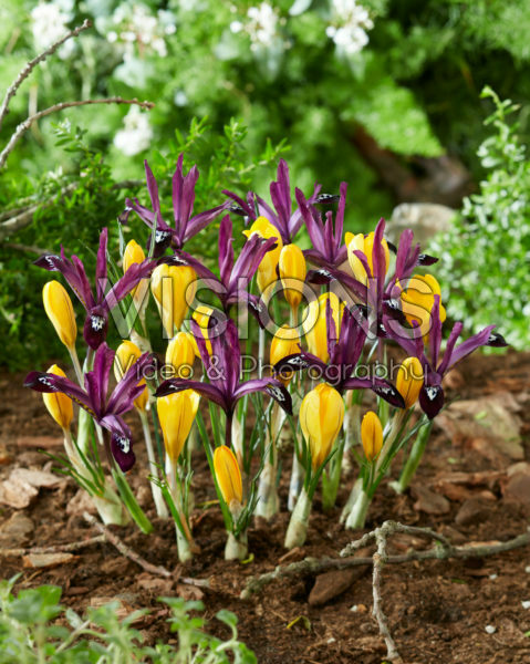 Crocus Golden Yellow, Iris reticulata Pauline