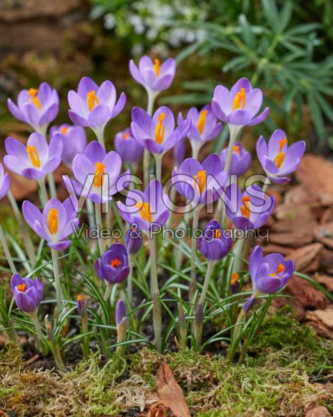 Crocus tommasinianus Barr's Purple