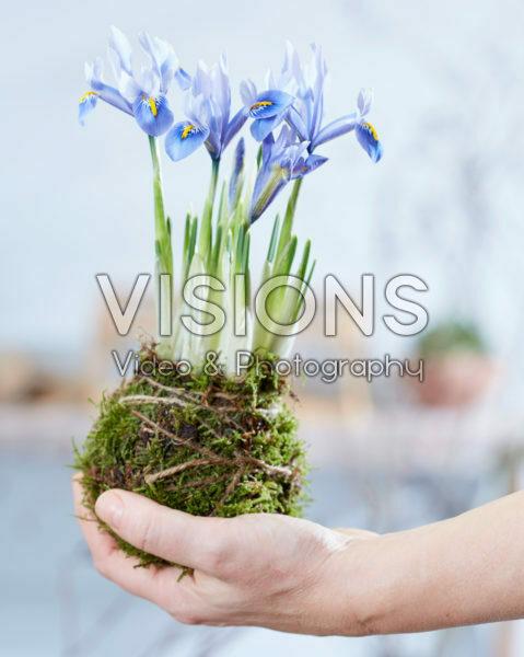 Iris reticulata Alida Kokedama