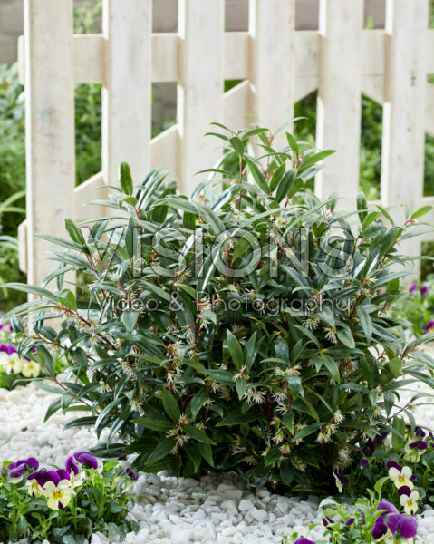 Sarcococca hookeriana Purple Gem