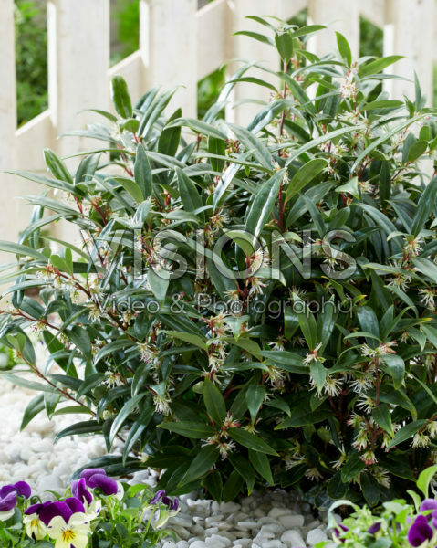 Sarcococca hookeriana Purple Gem