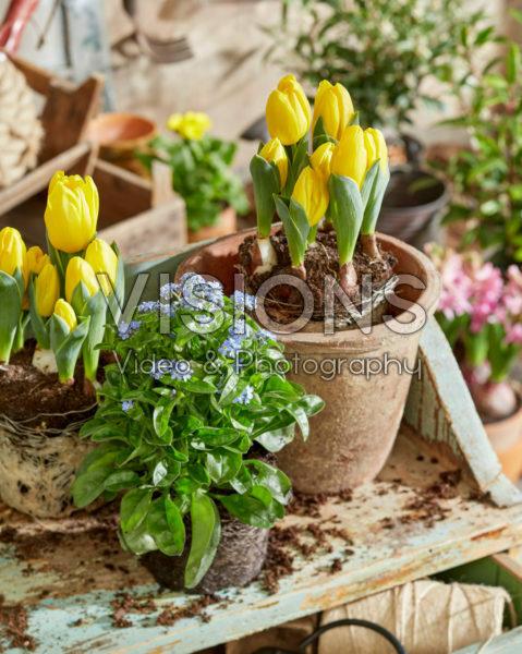 Planting up spring pots