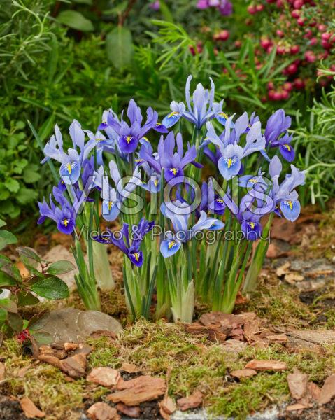 Iris reticulata Harmony, Alida