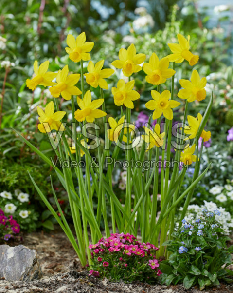 Narcissus Amwell Lady