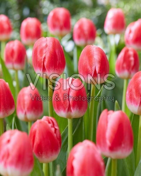 Tulipa Feline