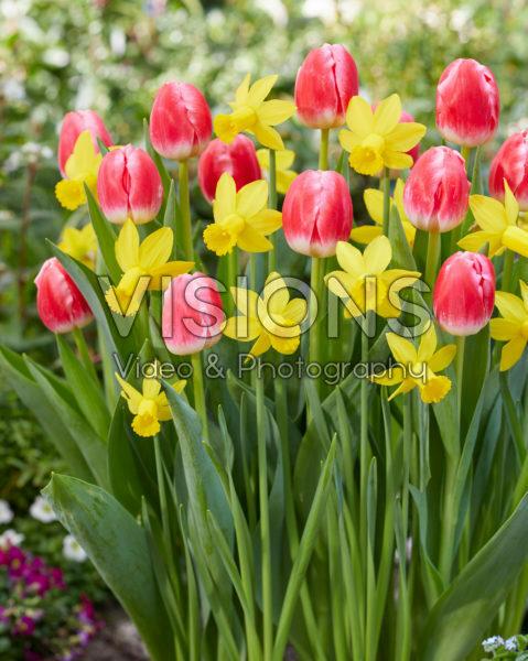 Narcissus Amwell Lady, Tulipa Feline
