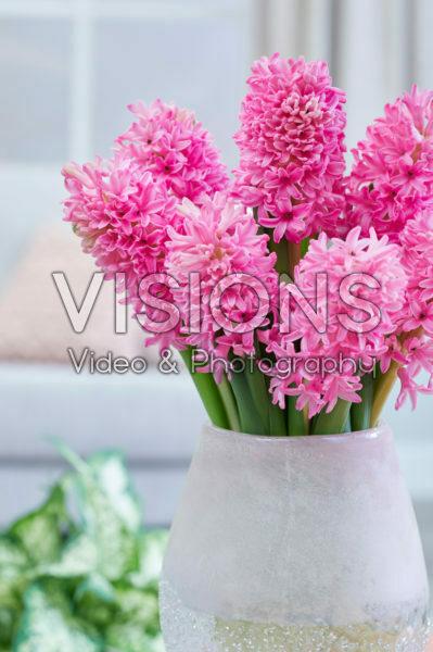 Hyacinthus Silvester