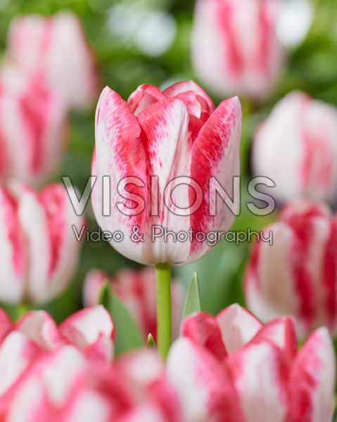 Tulipa Eline