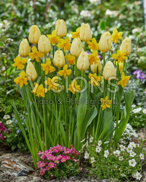 Tulipa Malaysia, Narcissus Winters Starlet