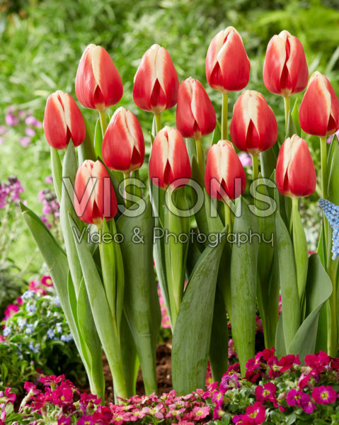 Tulipa Christmas Gift