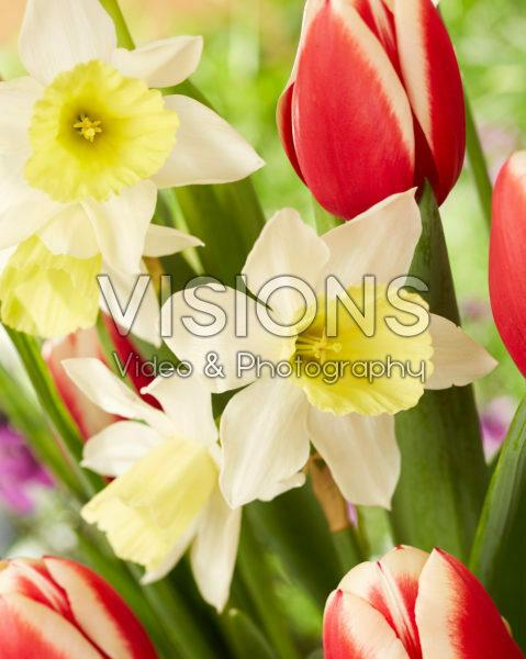 Narcissus Johanna