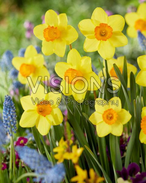 Narcissus Estremadura