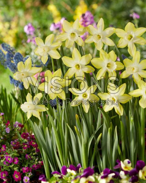 Narcissus Wheatear
