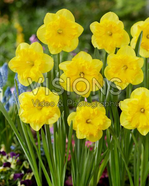 Narcissus Tasmanie