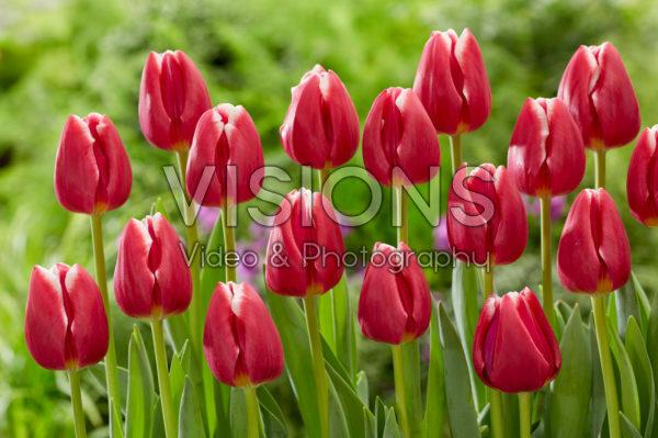 Tulipa Masterclass