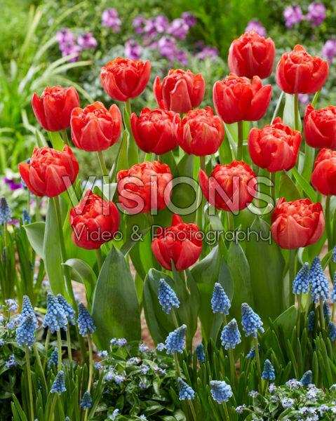 Tulipa Mira