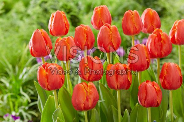 Tulipa Ad Rem Parrot