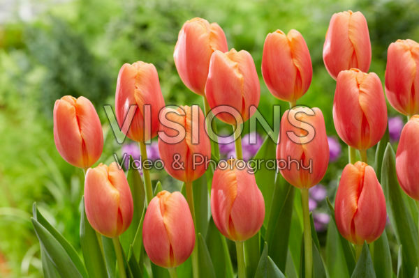 Tulipa Time Out