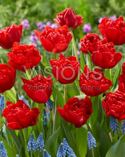 Tulipa Double Twist
