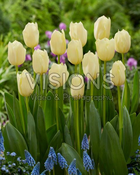Tulipa Yankee