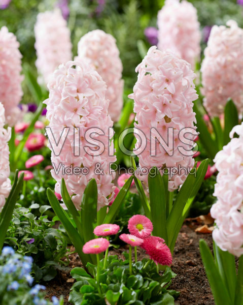 Hyacinthus Sorbonne