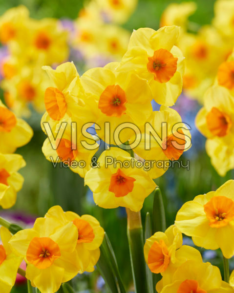 Narcissus Castanets