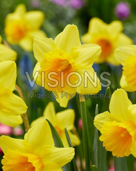 Narcissus Dear Corrine