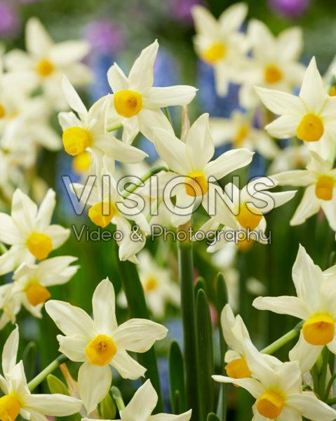 Narcissus tazetta subsp. italicus