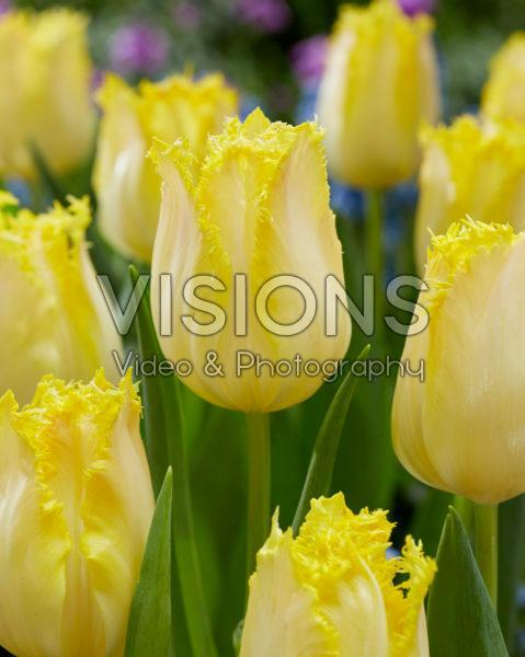 Tulipa Limoncello