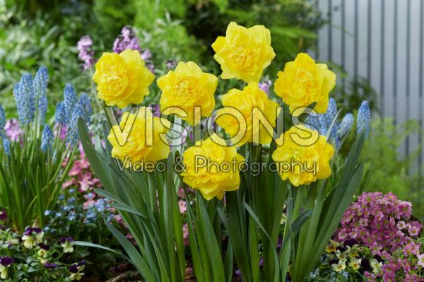 Narcissus Thunderball